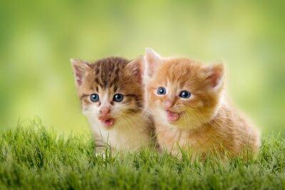 Plakat dwa kocięta