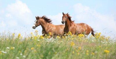 Plakat Dwa konie biegną razem kasztan