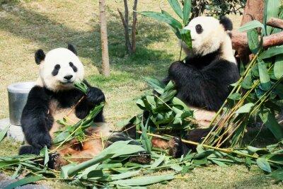 Plakat Dwa pand jedzenia bambusa