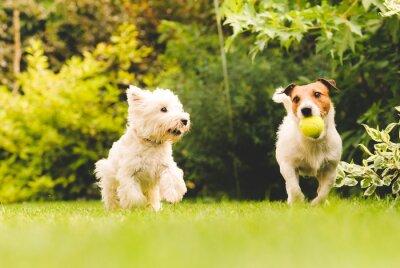 Plakat Dwa psy gry w piłkę.