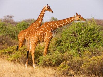 Plakat Dwa siatkowa żyrafa jedzenia liści z krzaków