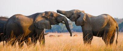 Plakat Dwa słonie odtwarzanie ze sobą. Zambia. Lower Zambezi National Park. Zambezi River. Doskonałą ilustracją.