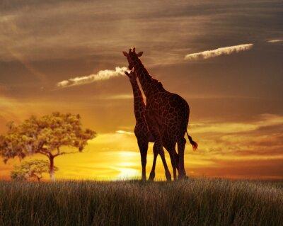Plakat Dwa Żyrafy na zachodzie słońca