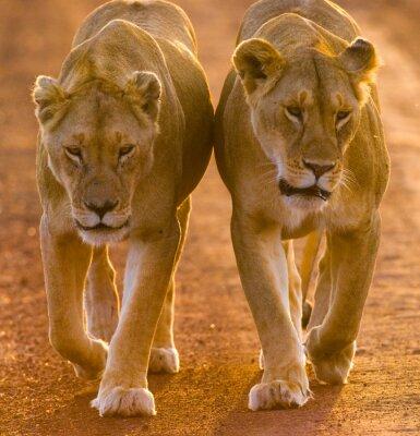 Plakat Dwie lwice chodzenia na drodze w parku narodowym. Kenia. Tanzania. Masajowie Mara. Serengeti. Doskonałą ilustracją.