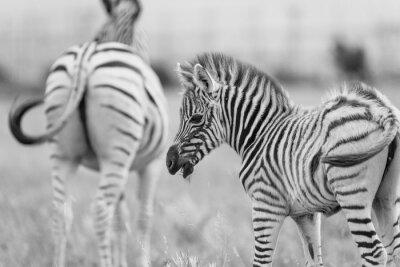 Plakat Dziecko Zebra
