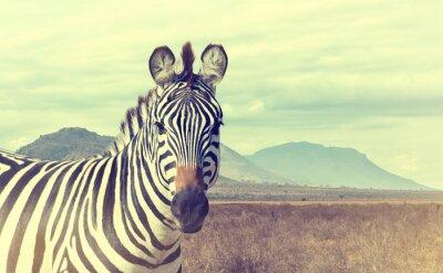 Plakat Dzikie African Zebra. efekt vintage