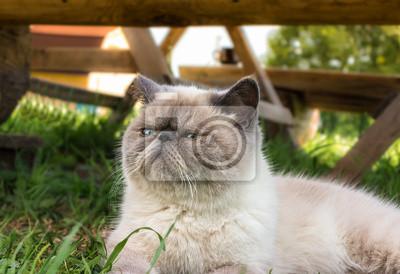 Plakat Egzotyczny krótkowłosy kot na naturze.