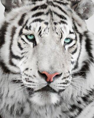 Plakat Elegancki biały tygrys portret