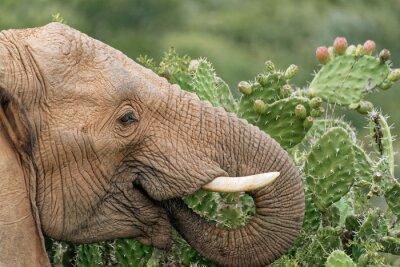 Plakat Elephant jedzenia opuncja