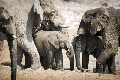Plakat Elephant w Etosha National Park.
