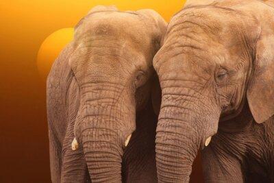 Plakat Elephants sunrise. Pair of Elephants together at sunrise.