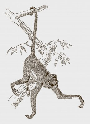 Plakat Endangered white-bellied spider monkey (ateles belzebuth) hanging with its tail at a branch. Illustration after an engraving from the 19th century