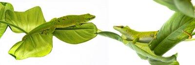 Plakat Felsuma Madagaskarska - Gecko izolowana na białym tle
