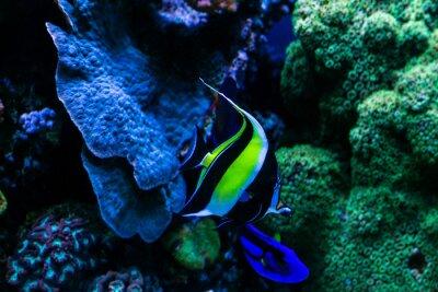 Plakat fish in aquarium