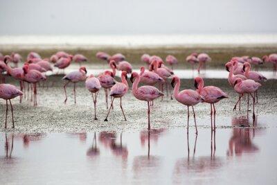 Plakat Flamingi w Wallis Bay, Namibia, Afryka