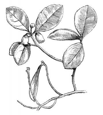 Plakat Flowering Branch of Gaultheria Procumbens (Creeping Wintergreen) vintage illustration.