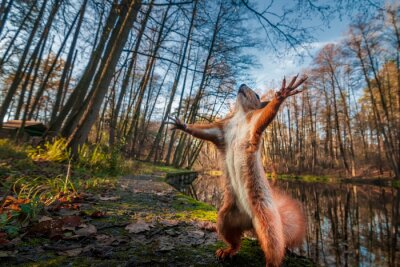 Plakat Funny red squirrell standing in the forest like Master of the Universe.