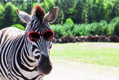 Plakat Funny Zebra z okulary