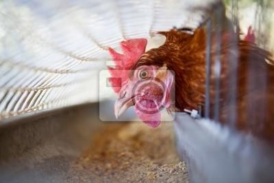 gallina en el comedero