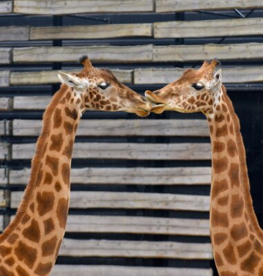 Plakat Girafes, baiser