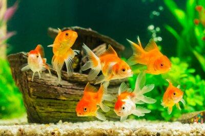 Plakat Goldfish in aquarium with green plants
