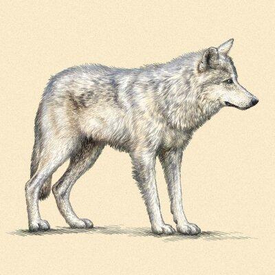 Plakat grawerować ilustracja wilk