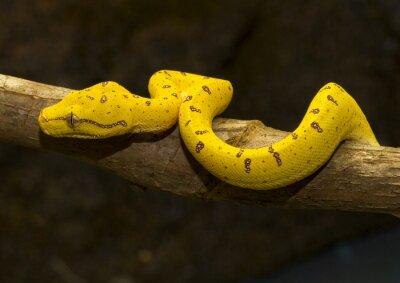 Plakat Green Tree Python - Żółty niedojrzałe -02