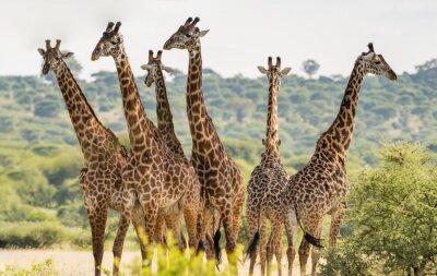 Plakat Grupa sześciu żyraf w Tarangire National Park, Tanzania