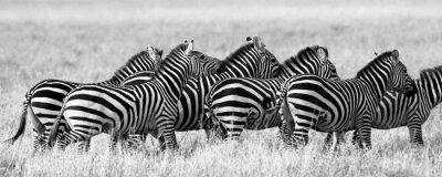 Plakat Grupa zebry na sawannie. Kenia. Tanzania. Park Narodowy. Serengeti. Masajowie Mara. Doskonałą ilustracją.