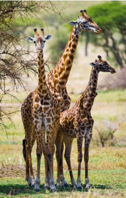 Plakat Grupa żyrafy w sawanny. Kenia. Tanzania. Wschodnia Afryka. Doskonałą ilustracją.