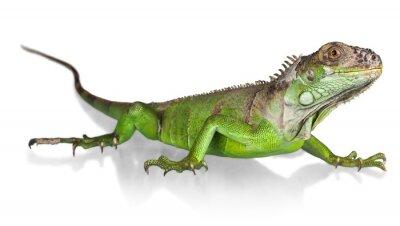 Plakat Iguana, Jaszczurka, Gad.