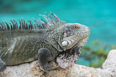 Plakat Iguana w Playa Lagun, Curaçao
