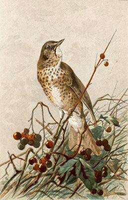 Plakat Ilustracja zoologique / Turdus philomelos / muzyka Grive
