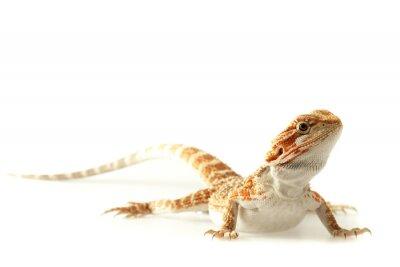 Plakat Jaszczurka Zwierzęta Bearded Dragon na białym, wąskim naciskiem