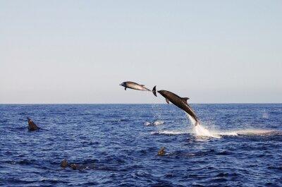 Plakat Jumping Dolphins - Galapagos