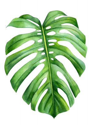 Plakat Jungle green leaves of monstera creepers on an isolated white background, watercolor illustration, botanical painting