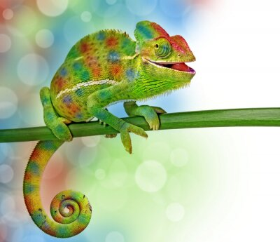 Plakat kameleon i kolory