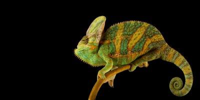 Plakat Kameleon jemeński