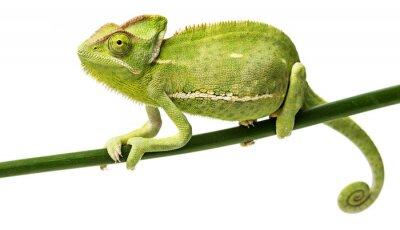 Plakat Kameleon jemeński, kobieta
