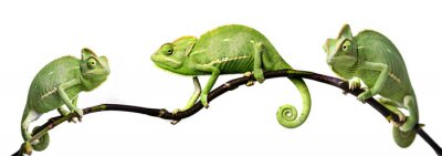 Plakat Kameleon - Kameleon jemeński na gałęzi