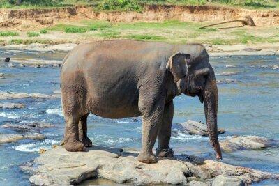 Plakat kąpiel słonia w rzece Sri Lance