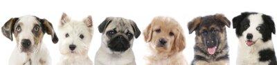 Plakat Kilka szczenięta - psy kolejce głowy