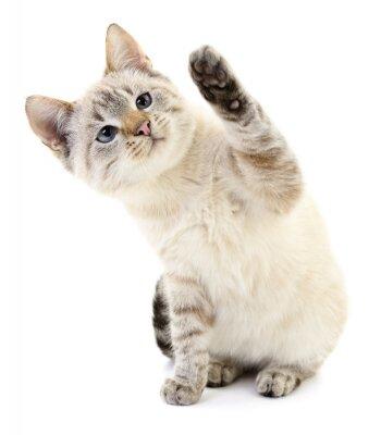 Plakat Kitten na białym tle