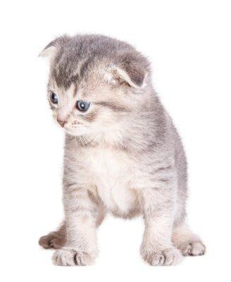 Plakat kitten samodzielnie na białym tle