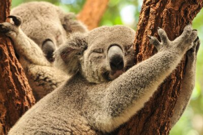 Plakat Koale śpiące