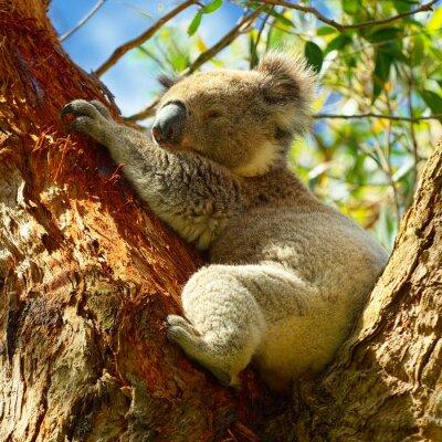 Plakat Koale wzdłuż Great Ocean Road, Victoria, Australia