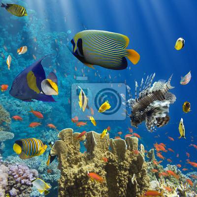 Plakat Koral i ryby w Czerwonej Sea.Egypt