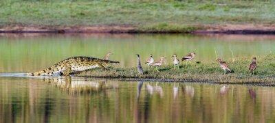 Plakat Krokodyl nilowy w Kruger National Park, Republika Południowej Afryki