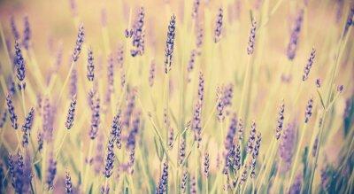 Plakat Kwiat lawendy Vintage stonowana, płytkiej głębi ostrości.