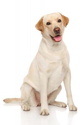Plakat Labrador retriever
